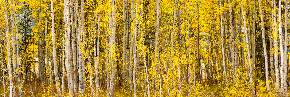 A print of aspen trunks with yellow leaves